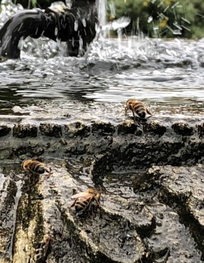 Bees drinking at fountain
