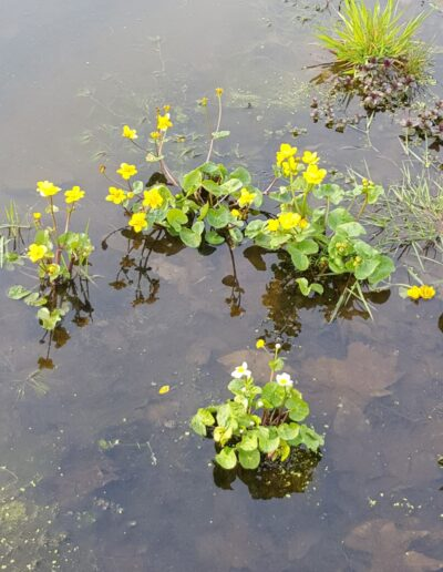 Water buttercup on pond