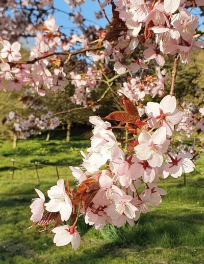 North Japanese Hill Cherry