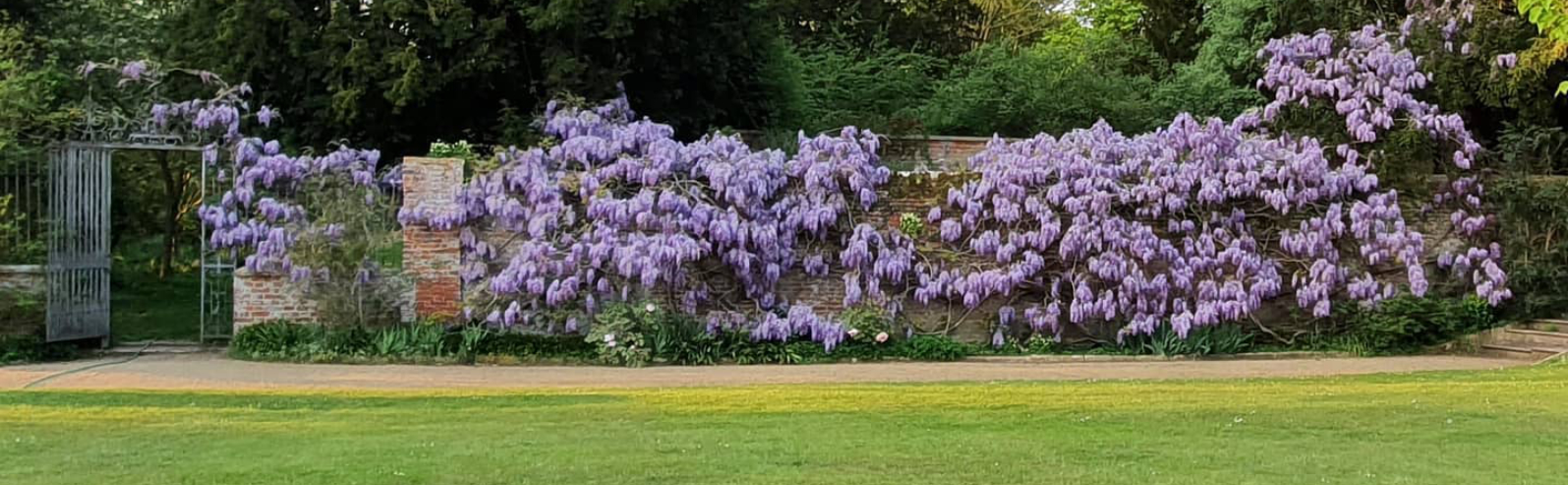 Wisteria in formal garden