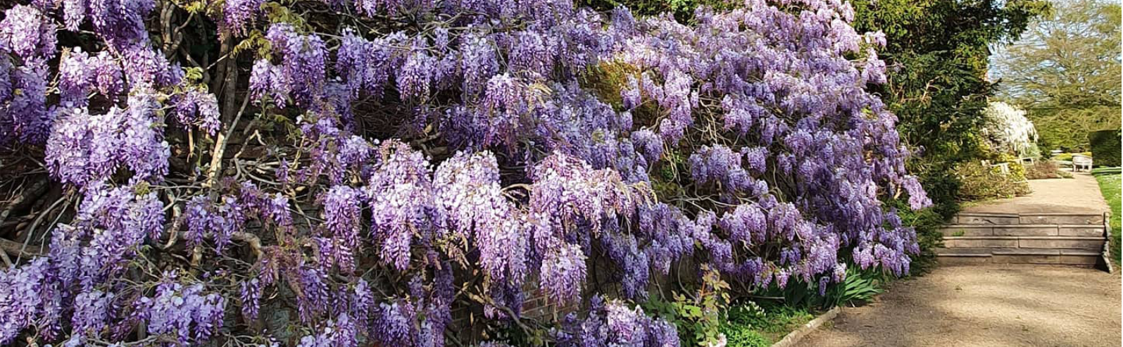 wisteria looking from formal garden
